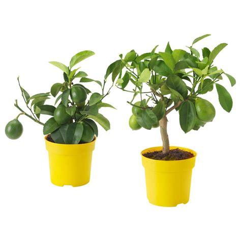 piante di limoni in vaso prezzi piante limoni in vaso prezzi pianta di limone a buccia
