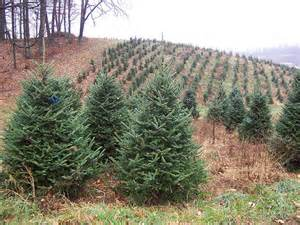 veggie revolution christmas tree debate is fake or real more sustainable