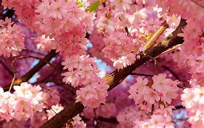 Sakura Wallpapers Flower Flowers Desktop Wallpaperboat
