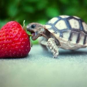 Top 25 ideas about Sulcata tortoise on Pinterest | Colin ...