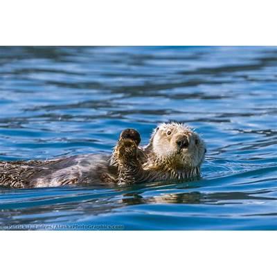 Sea otter Prince William SoundAlaskaPhotoGraphics.com