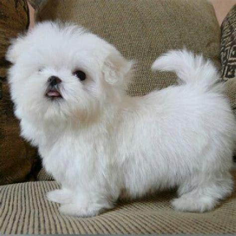 Tiny Soooo Cute Teacup Maltese Puppy When Fully Grown