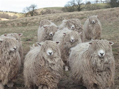 The Risby Flock Of Lincoln Longwools