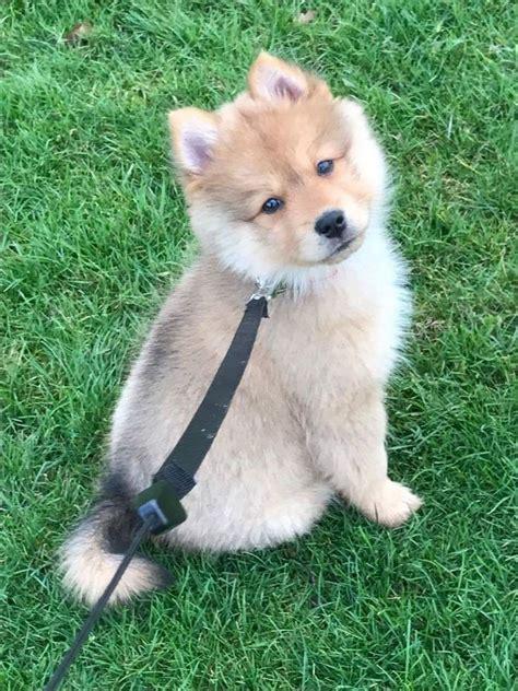 Best 25 Full Grown Pomsky Ideas On Pinterest Pomeranian