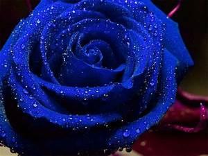 Dark Blue Rose | Color Me ♥ Sapphire | Pinterest