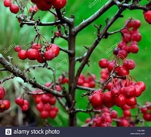 Deko Zweige Rote Beeren : zwerg holzapfel baum winter weihnachten rote beere beeren pfel krabben deko dekoration terrasse ~ Sanjose-hotels-ca.com Haus und Dekorationen