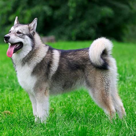large non shedding dogs list top 10 non shedding dogs breeds picture