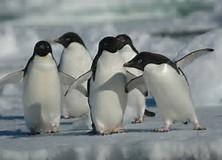 Résultat d'images pour pingouins sur la banquise