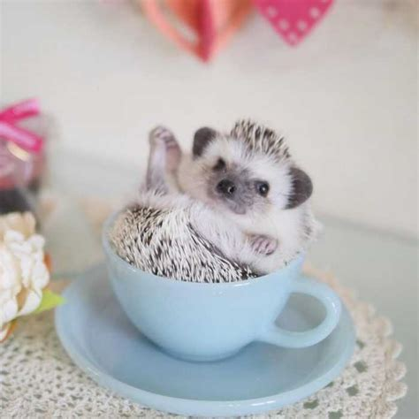 hedgehogs pics    adorable theyll melt  heart