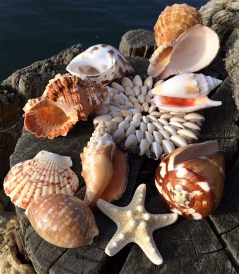 sea shells  sale buy sea shells   uk large  small seashells wedding shells