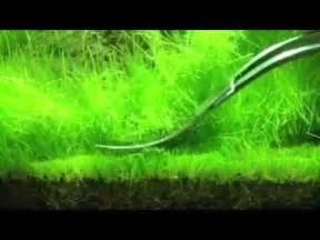 Hair Grass Aquascape by Trimming Hair Grass Eleocharis Acicularis Ada 60p