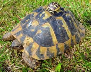 Le Chauffante Tortue Hermann by Presles Interview Gt 171 Adopter Une Tortue D Hermann C Est