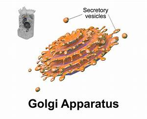 Golgi Apparatus Function