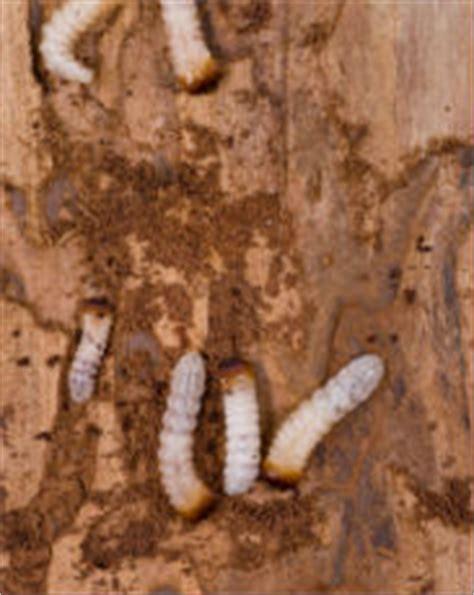Holzwurm In Möbel by Holzwurm Bek 228 Mpfung Und Informationen Bewertet De
