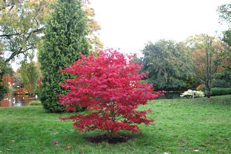 acer palmatum bloodgood japanese maple tree shrub