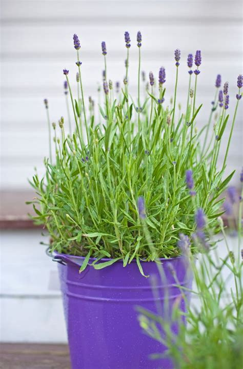 lavender and mosquitoes lavender mosquitoes and bees on pinterest