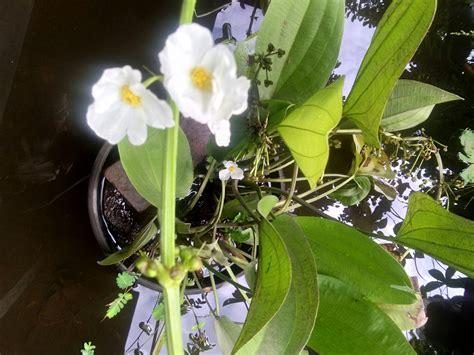 bibit tanaman bunga melati air anget mas