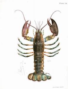 The gallery for --> Vintage Lobster Illustration