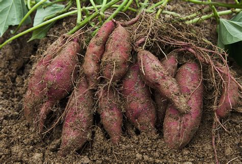 how to potatoes from garden how to grow sweet potatoes in the home garden