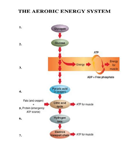 fatigue part   aerobic energy system complete