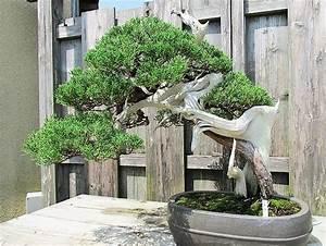 Pflege Bonsai Baum Indoor : bonsai baum geschichte arten pflege tipps ~ Michelbontemps.com Haus und Dekorationen
