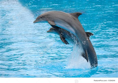 dolphins jumping stock image   featurepics