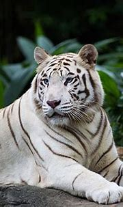 87 Interesting And Fun Tiger Facts For Kids