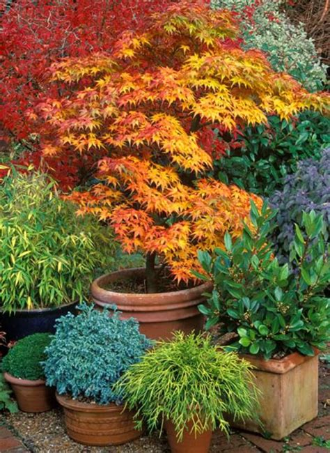 growing japanese maples  containers