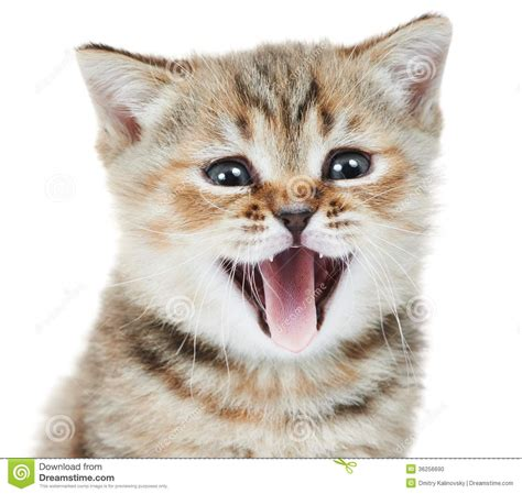 British Shorthair Kitten Cat Head Stock Photo  Image Of