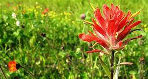 Wyoming State Flower - The Indian Paintbrush - ProFlowers Blog