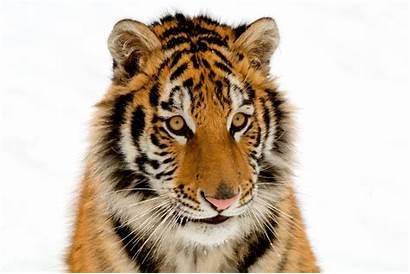 Tiger Wild Animal Wallpapers Animals Snowy Cub