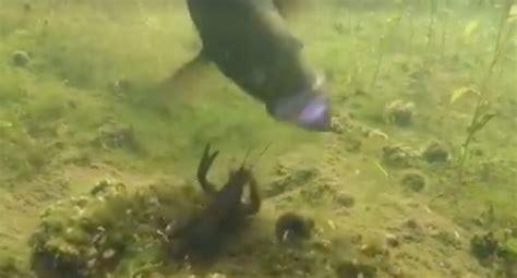 crayfish fights   hungry smallmouth bass