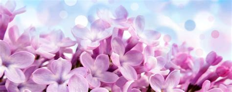 Lilac Background Lilac Background Wallpaper Wallpapersafari