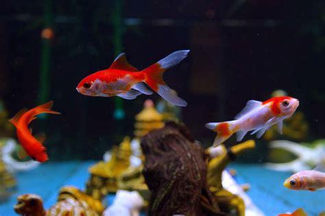 poissons d aquarium pour d 233 butant guide astuces
