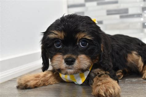 reservedwashington male fb cavachon puppy