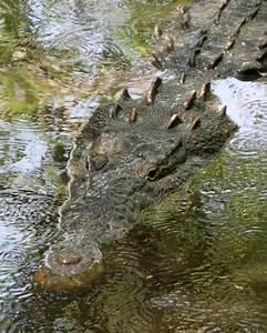 Alligators And Crocodiles  Comparison And Contrast