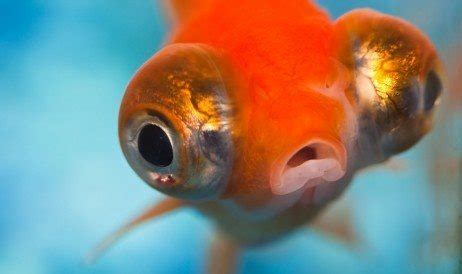 What are some of the fish with biggest eyes in relation to ...