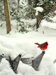 Winter Red Cardinal Bird