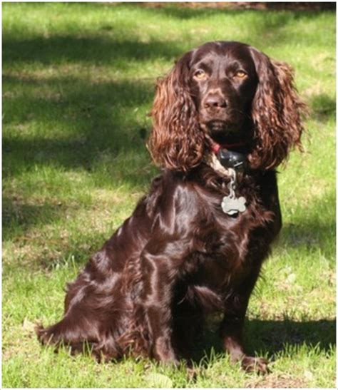 Boykin Spaniel Shed by Boykin Spaniel Puppies Rescue Pictures Breeders