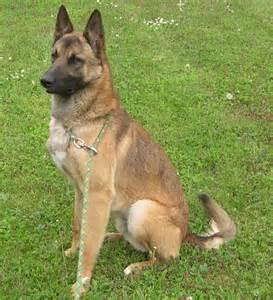 les meilleures races de chiens de garde