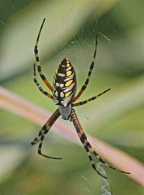 Are Black And Yellow Garden Spiders Poisonous by Argiope Aurantia