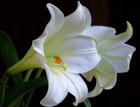 liles flower lilies flowers magazine