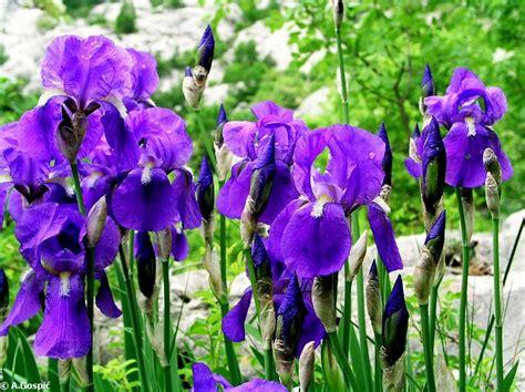 croatian flowers croatian national flower iris visite croatia stema guide