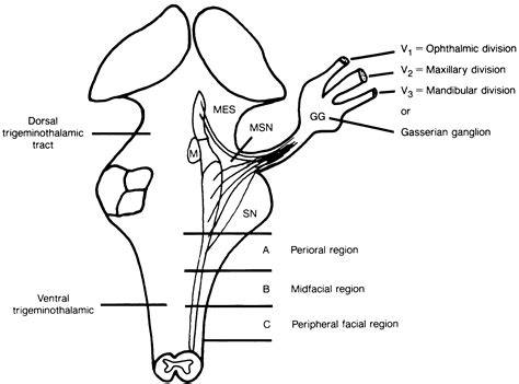 cranial nerve v complex dorsal view of brain stem american academy of ophthalmology