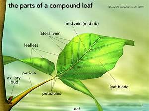 Leaf Structure Labelled With Annotations