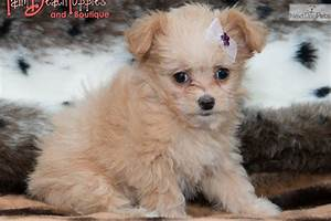Chi-Poo - Chipoo puppy for sale near West Palm Beach ...