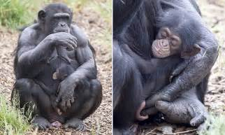 Pregnant chimpanzee Zombi adopts orphaned baby at Monarto ...