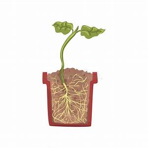 Plant Seed Growth  Development And Rooting Inside The