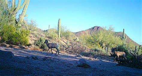 First Sighting Desert Bighorns In Saguaro In Six Decades