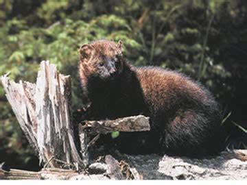 Fisher (animal) Wikipedia